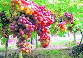 Grapes may shield you from Alzheimer's disease